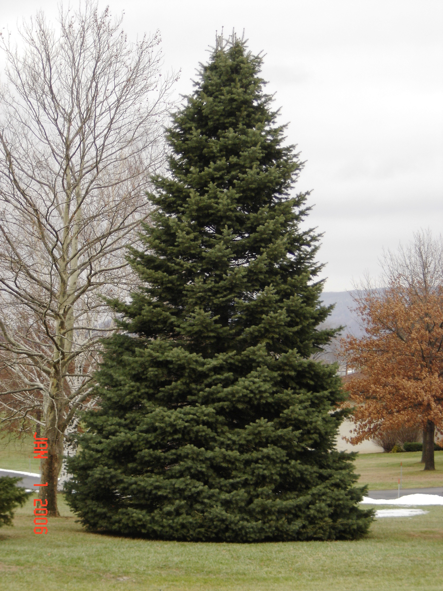 How Many Types Of Christmas Trees Are There